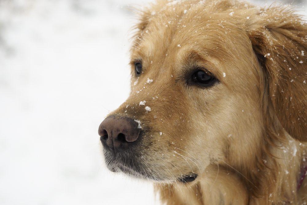 Prescription Dog Food >> Cold Weather Pet Safety Tips   Centennial Animal Hospital