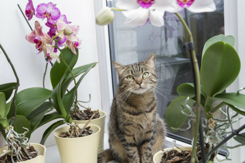 Cat sitting between Orchids