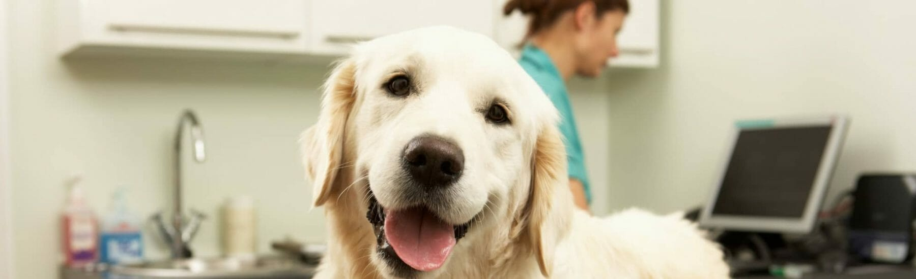 Golden retriever smiling at the camera in a vet clinic